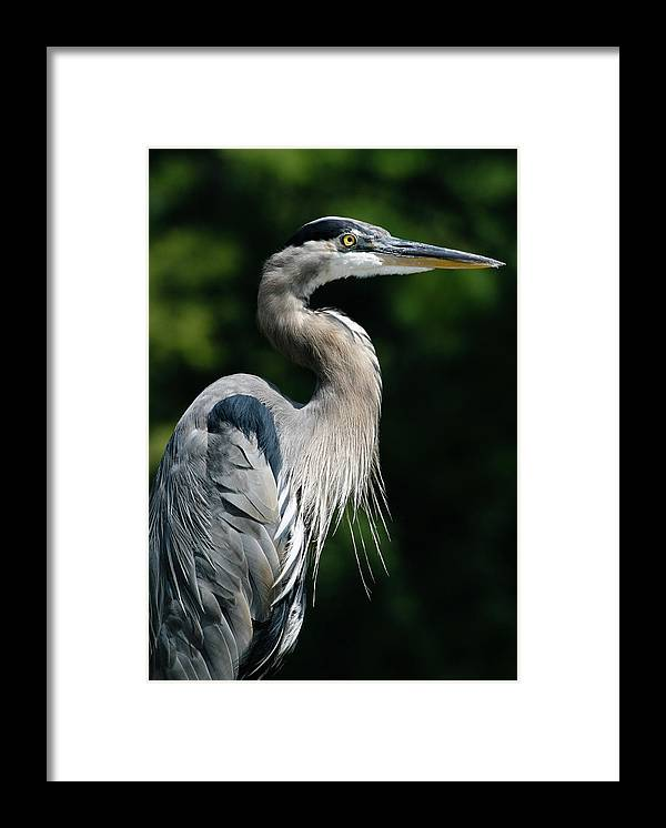 North Carolina Framed Print featuring the photograph Great Blue Heron by Bill Swindaman