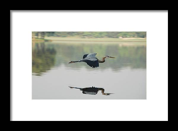 Animal Themes Framed Print featuring the photograph Great Blue Heron In Flight by Photo By Hannu & Hannele, Kingwood, Tx