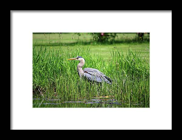Animal Themes Framed Print featuring the photograph Great Blue Heron by Richard A. Whittaker