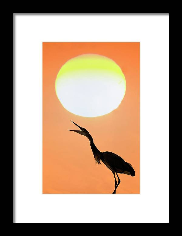 Animal Themes Framed Print featuring the photograph Great Blue Heron, Screeching, Sunset by Mark Newman
