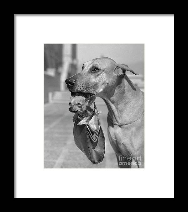1930-1939 Framed Print featuring the photograph Great Dane Holding Chihuahua In Purse by Bettmann