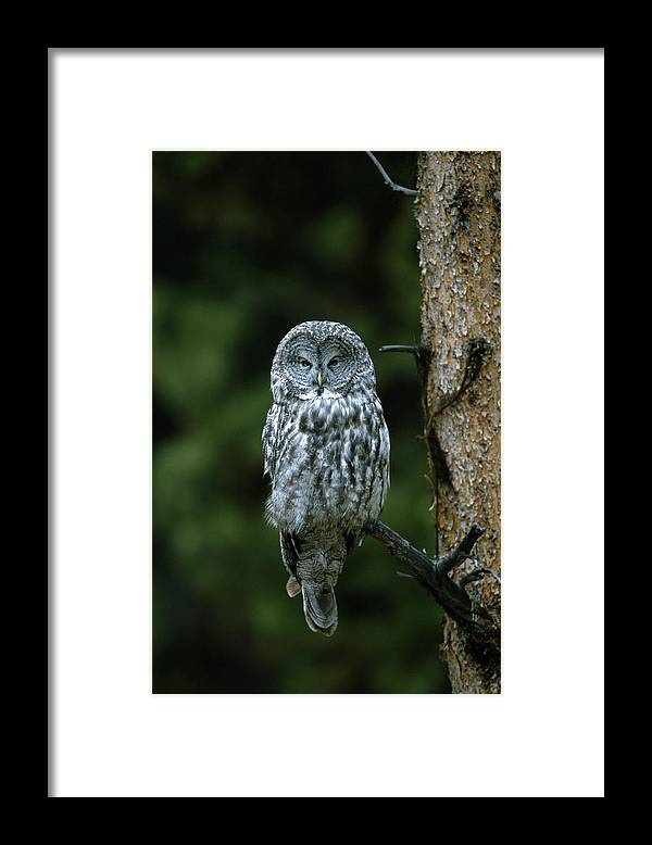 Great Gray Owl Framed Print featuring the photograph Great Gray Owl Strix Nebulosa On Perch by Riccardo Savi