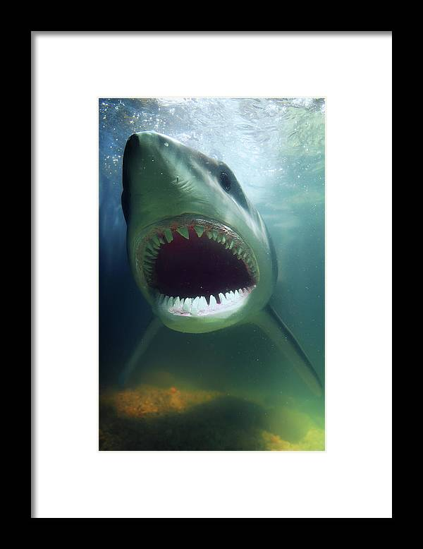 Underwater Framed Print featuring the photograph Great White Shark by Pm Images
