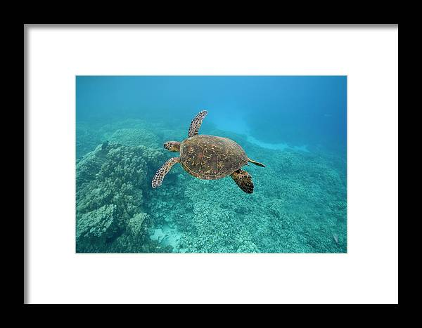 Underwater Framed Print featuring the photograph Green Sea Turtle, Big Island, Hawaii by Paul Souders