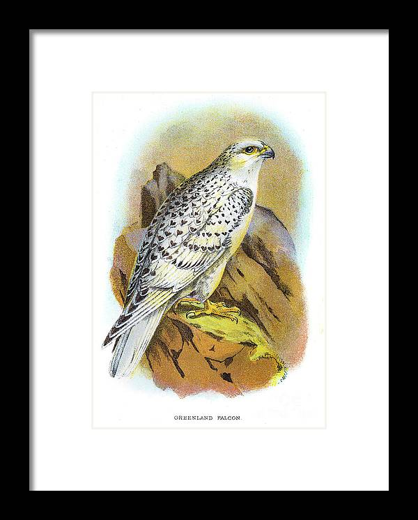 Engraving Framed Print featuring the digital art Greenland Falcon Engraving 1896 by Thepalmer