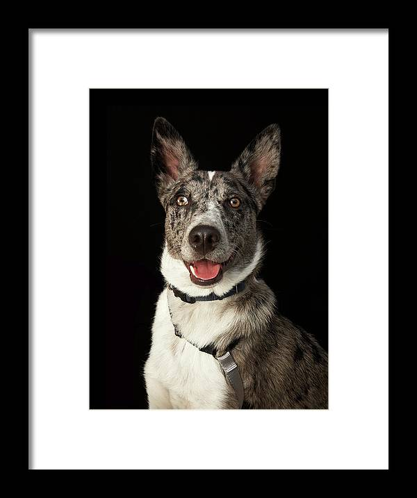 Pets Framed Print featuring the photograph Grey And White Australian Shepherd With by M Photo