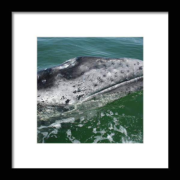 Latin America Framed Print featuring the photograph Grey Whale Head by Serengeti130
