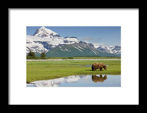Brown Bear Framed Print featuring the photograph Grizzly Bear, Katmai National Park by Paul Souders
