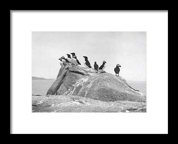 Group Of Puffins Framed Print