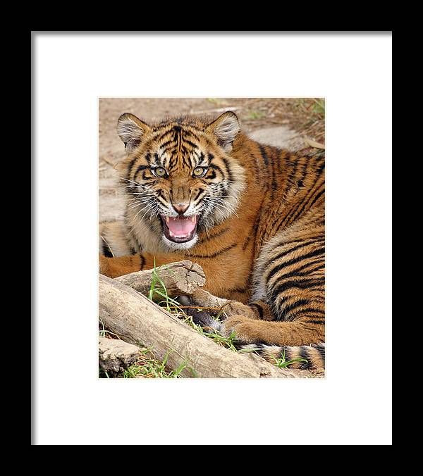 Snarling Framed Print featuring the photograph Growling Tiger by S. Greg Panosian