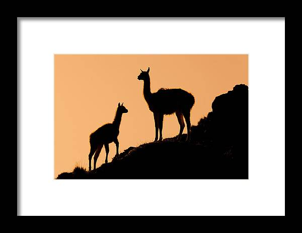 Sebastian Kennerknecht Framed Print featuring the photograph Guanaco Mother And Cria At Sunset by Sebastian Kennerknecht