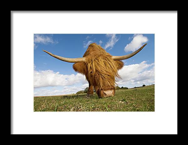 Horned Framed Print featuring the photograph Hairy, Horned, Highland Cow Grazing by Clarkandcompany