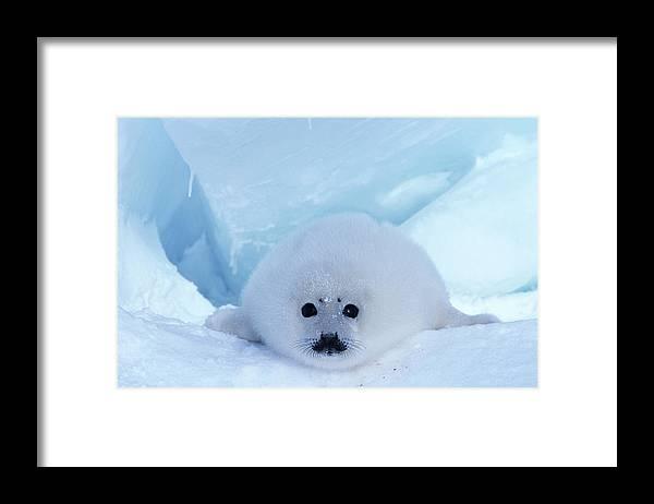 Iles De La Madeleine Framed Print featuring the photograph Harp Seal Phoca Groenlandica by Art Wolfe