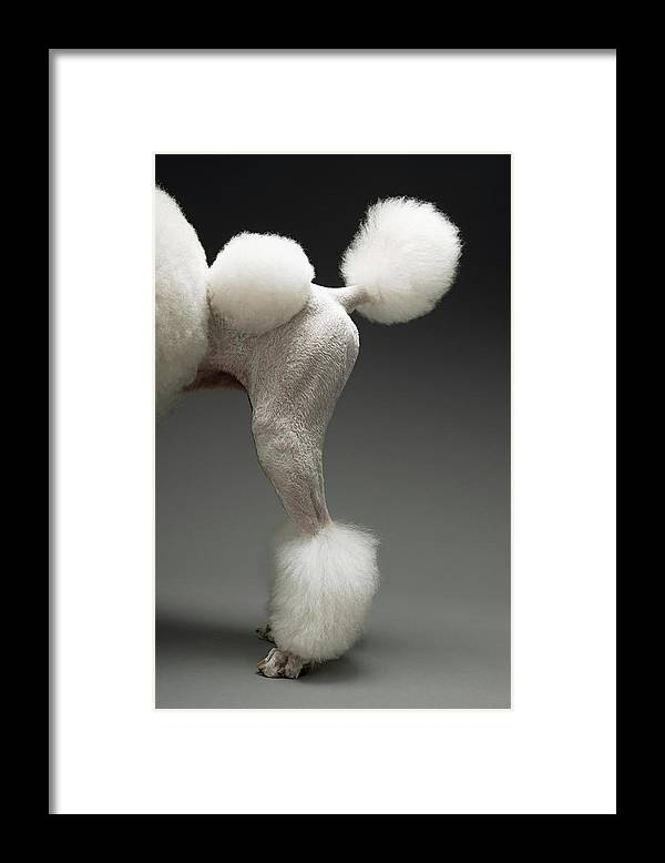 Pets Framed Print featuring the photograph Haunches Of Poodle, On Grey Background by Moodboard