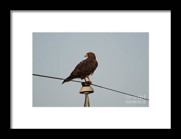 Hawk Framed Print featuring the photograph Hawk On An Old Power Line by Jeff Swan