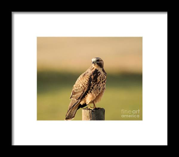Hawk Framed Print featuring the photograph Hawk On The Edge Of A Field by Jeff Swan