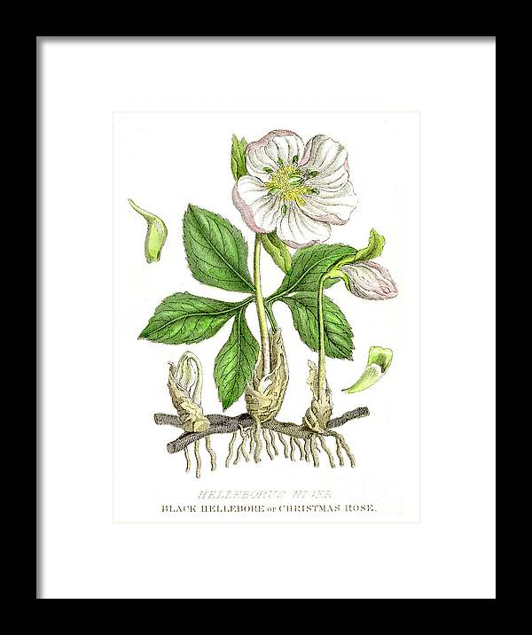 Engraving Framed Print featuring the digital art Hellebore Botanical Engraving 1857 by Thepalmer