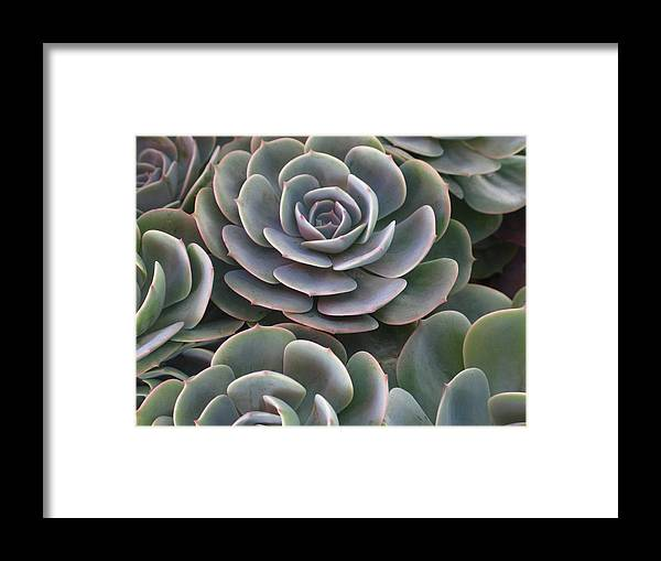 Scenics Framed Print featuring the photograph Hens And Chicks Plant Full Frame by Sassy1902