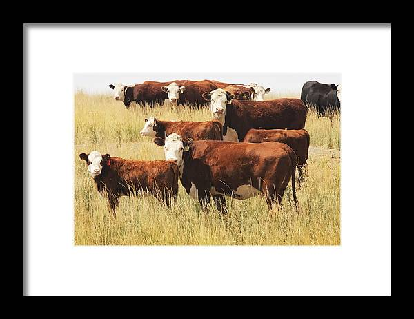 Non-moving Activity Framed Print featuring the photograph Hereford Cow Farm Pasture Livestock by Chuckschugphotography