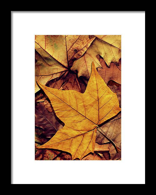 Orange Color Framed Print featuring the photograph High Resolution Dry Maple Leaf On by Miroslav Boskov