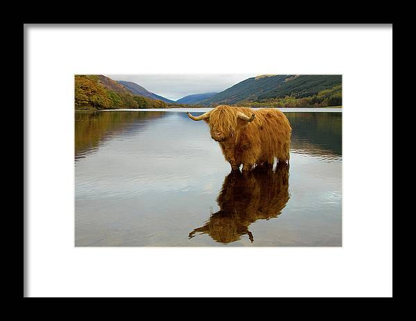 Horned Framed Print featuring the photograph Highland Cow by Empato