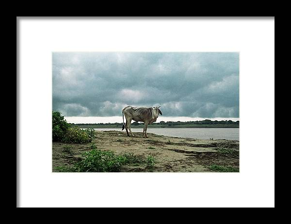 Animal Themes Framed Print featuring the photograph Holy Cow By Ganges River by Boaz Rottem