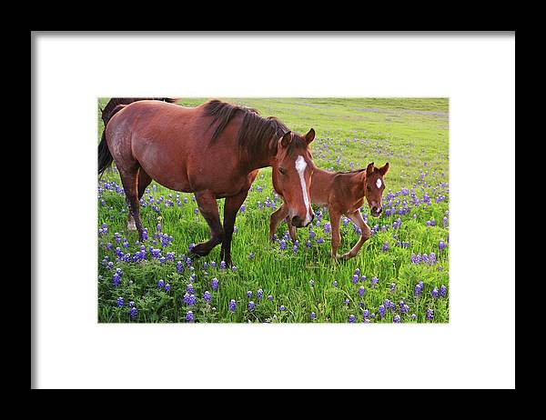 Horse Framed Print featuring the photograph Horse On Bluebonnet Trail by David Hensley