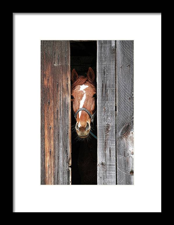 Horse Framed Print featuring the photograph Horse Peeking Out Of The Barn Door by 2ndlookgraphics