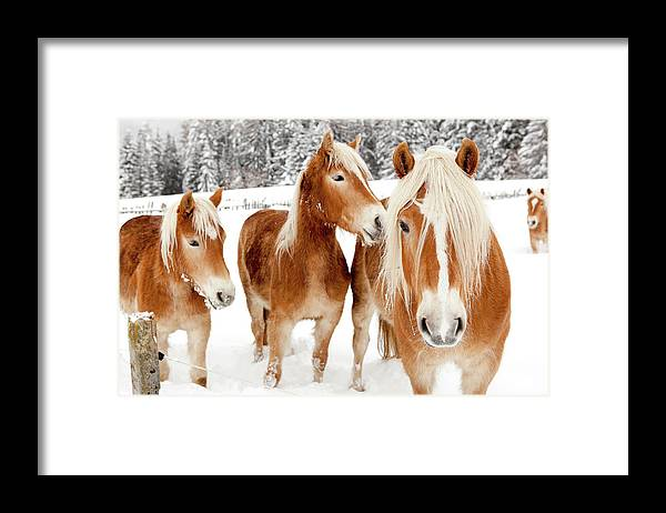 Horse Framed Print featuring the photograph Horses In White Winter Landscape by Angiephotos