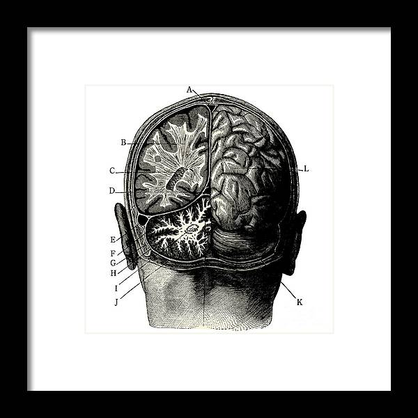 Engraving Framed Print featuring the digital art Humain Brain -vintage Engraved by Lynea