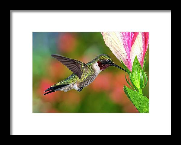 Animal Themes Framed Print featuring the photograph Hummingbird Feeding On Hibiscus by Dansphotoart On Flickr