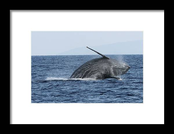 Animal Framed Print featuring the photograph Humpback Whale Breach 2 Of 3 by Adwalsh