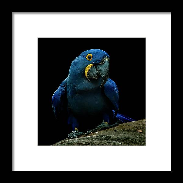 Macaw Framed Print featuring the photograph Hyacinth Macaw by Photo By Steve Wilson