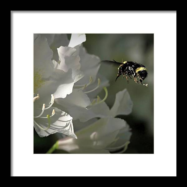 Rhododendron Framed Print featuring the photograph I Like Rhodies by Donna Kennedy