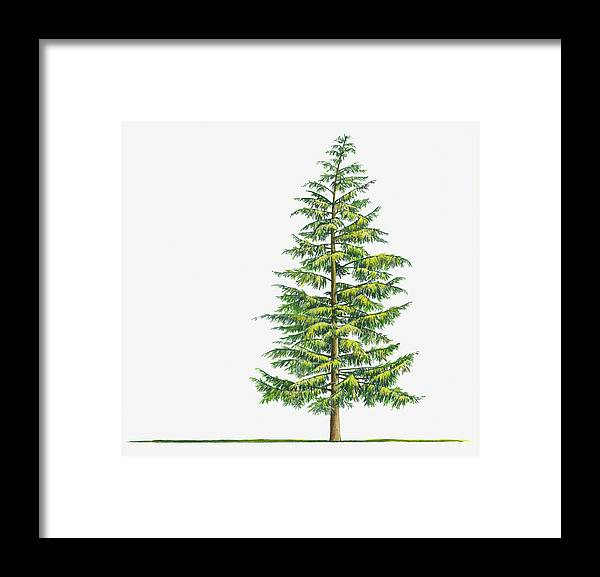 Watercolor Painting Framed Print featuring the digital art Illustration Of Large Evergreen Tsuga by Sue Oldfield