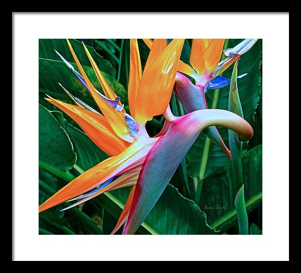Bird Of Paradise Framed Print featuring the photograph Intertwine by James Temple