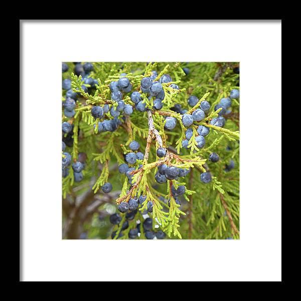 North Dakota Framed Print featuring the photograph Juniper Berries by Cris Fulton
