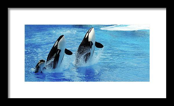Panoramic Framed Print featuring the photograph Killer Whale Family Jumping Out Of Water by Purdue9394