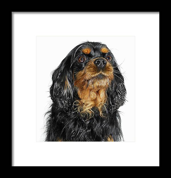 Pets Framed Print featuring the photograph King Charles Cavalier Portrait by Gandee Vasan