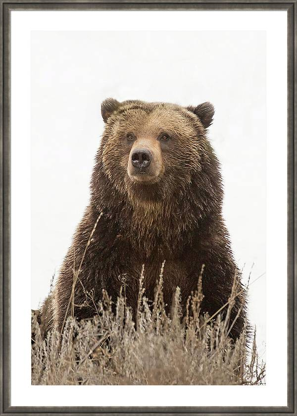 King of the Grizzlies by Sandy Sisti