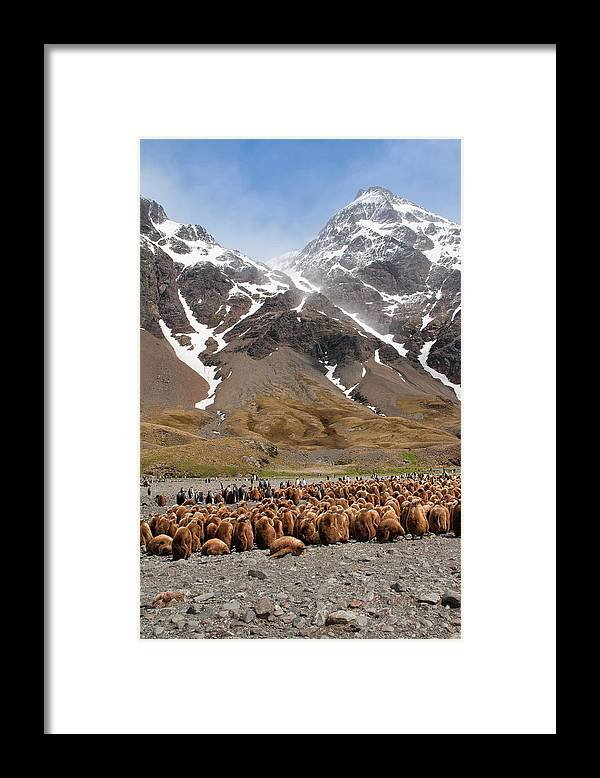 Scenics Framed Print featuring the photograph King Penguins Aptenodytes Patagonicus by Gabrielle Therin-weise