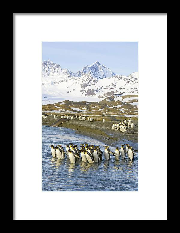 Allardyce Range Framed Print featuring the photograph King Penguins Marching To Sea To Wash by Eastcott Momatiuk