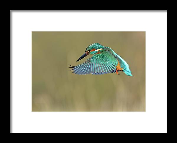 West Yorkshire Framed Print featuring the photograph Kingfisher by Mark Hughes