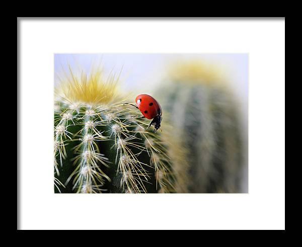 Animal Themes Framed Print featuring the photograph Ladybug On Cactus by Ta'