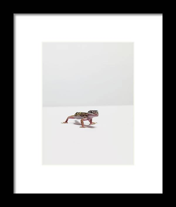 White Background Framed Print featuring the photograph Leopard Gecko by Dan Burn-forti