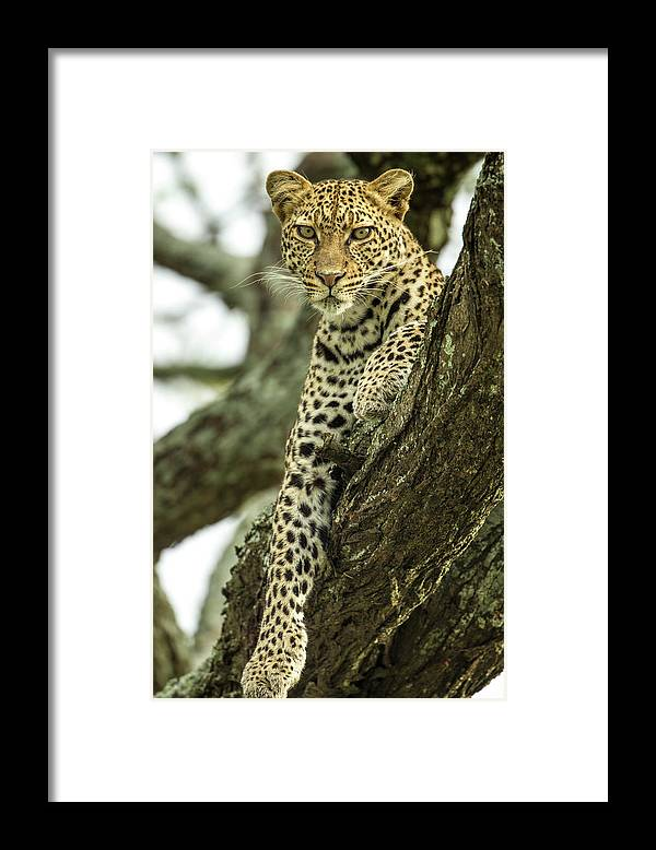 Dawn Framed Print featuring the photograph Leopard, Ndutu Plains, Tanzania by Paul Souders
