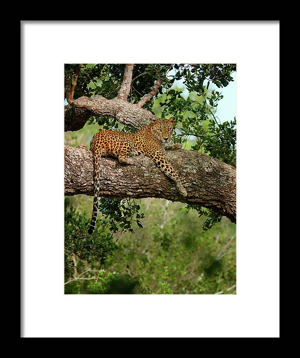 Animal Themes Framed Print featuring the photograph Leopard Sitting On A Branch by Thilanka Perera