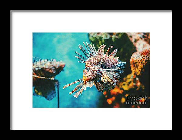 Deep Framed Print featuring the photograph Lion Fish Hunting Among Coral Reefs by Nine tomorrows