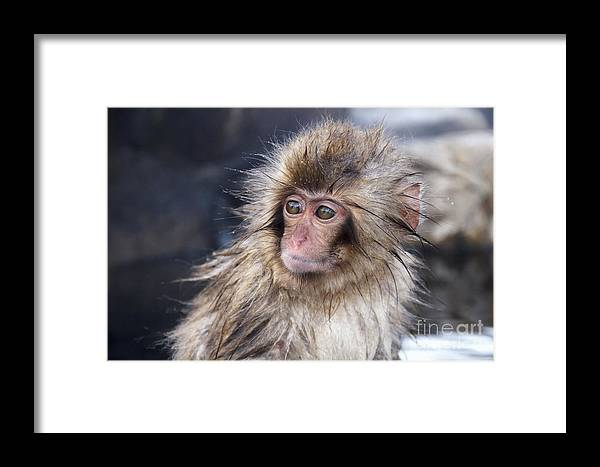 Small Framed Print featuring the photograph Little Snow Monkey At The Jigokudani by Ayusloth