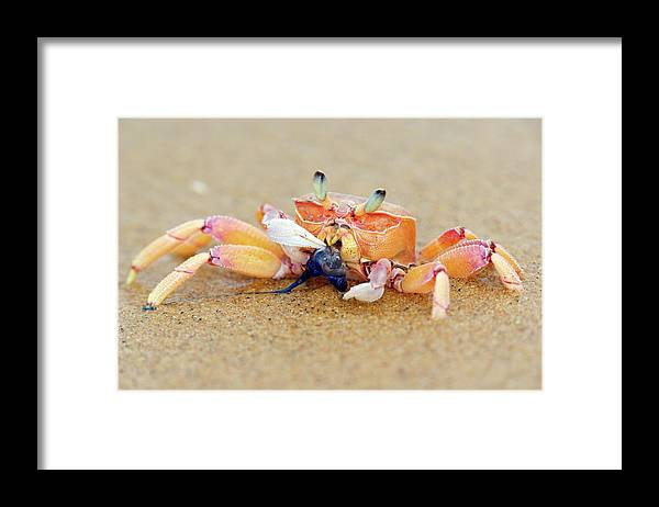 Sodwana Bay Framed Print featuring the photograph Lone Ghost Crab Eating A Blue Bottle by Heinrich Van Den Berg